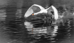 Mute Swan (Harleycy3) Tags: motion bird droplets flight beak feathers ripples flapping takeoff muteswan