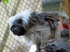 Cotton-Top Tamarin (bookworm1225) Tags: zoo october 2014 minnesotazoo northerntrail tropicstrail