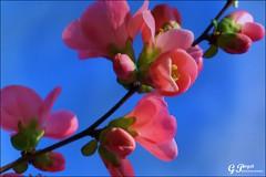 PETALES ET COULEURS (Gilles Poyet photographies) Tags: fleurs printemps soe auvergne beaumont puydedme autofocus aplusphoto artofimages rememberthatmomentlevel1