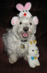"""4/12A ~ """"Riley, waiting for the Easter Bunny"""" (ellenc995) Tags: riley westie westhighlandwhiteterrier 12monthsfordogs15 easter coth rubyphotographer thesunshinegroup supershot fantasticnature alittlebeauty coth5 yearofholidays challengeclub ruby3 pet100 akob naturallywonderful thegalaxy 100commentgroup abigfave"""