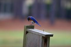 IMG_4742 (SweetMeow) Tags: home birds yard bluebird nesting hiltonheadisland bluebirdbox