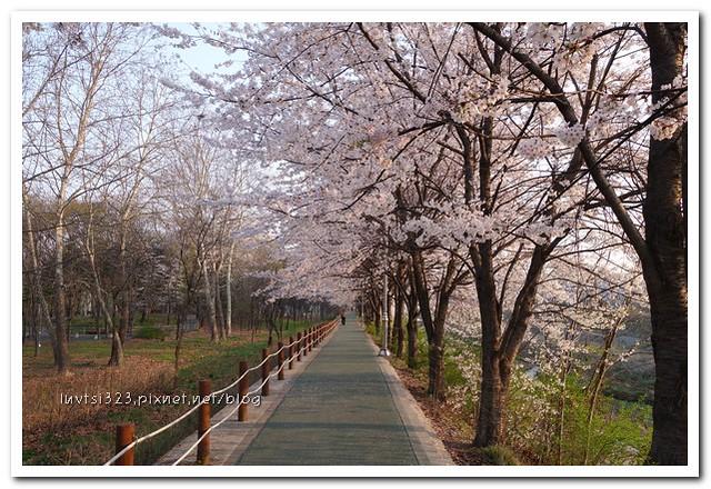 양재천벚꽃08