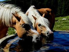 Haflingerpferde