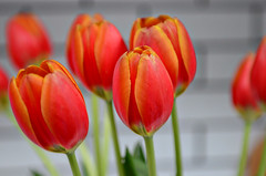 Tulip {Explored 4/4/2015} (moke076) Tags: flowers red color nature spring nikon flickr dof bright bokeh explore tulip traderjoes bloom bouquet blooming explored d7000