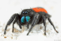 Phidippus johnsoni (gatorlink) Tags: mountains nature forest riverside southerncalifornia canyons 6d sanbernardino canonmpe65mmf2815xmacrophoto