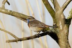 Blauwborst-8576 (Djien) Tags: vogels oostvaarderplassen