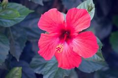 Hibiscus (laurw) Tags: hibiscus hibisco