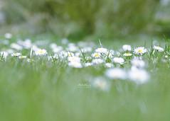 Bienvenida, primavera ((((AnaLis)))) Tags: naturaleza detalle color verde primavera luz 50mm nikon desenfoque campo montaña margaritas palencia hierba rasdesuelo montañapalentina d7000 naturalezacautivadora sendadeursi