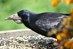 Not the most handsome bird! (Donna JW) Tags: black bird grain birdtable rook corvid corvusfrugilegus picmonkey