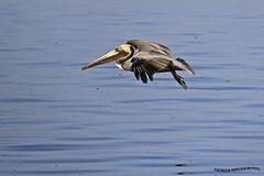 Pelicano (pniselba) Tags: ocean sea bird beach mar costarica playa pelican ave pajaro pacifico oceano guanacaste pelicano pelecanus playapanama golfopapagayo