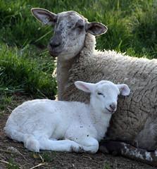 One week (baalands) Tags: hair sheep single lamb dairy katahdin ewe yearling crossbred lacaune