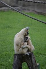Snuggles (citizen for boysenberry jam) Tags: wild animals zoo texas waco waza gibbon aza cameronparkzoo whitehandedgibbon