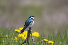 Blue and Yellow makes Green (tycampbe) Tags: blue wild ontario canada bird nature beautiful animal closeup outside outdoors spring wildlife migratory iridescent elegant swallow dandelions 500px ifttt