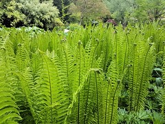 Ferns, Harewood House (mikey471) Tags: fern green garden yorkshire may himalayan harewoodhouse harewood 2016 himalayangarden