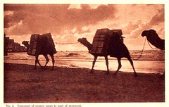 Tel Aviv to Jaffa, transport of orange cases by camels (Steven Czitronyi) Tags: sunset postcard jaffa camels