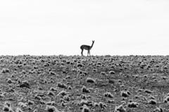 Vicua (El ojo etnogrfico) Tags: chile viaje nature natural ruinas desierto montaa altiplano volcan terreno arqueologa vicua llullaillaco