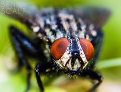 fly (• ID needed please •) - 105mm macro (ben.scalf) Tags: ohio macro nature bug insect fly eyes nikon cincinnati wildlife flight science micro dslr biology lightroom 105mm compoundeyes d3200
