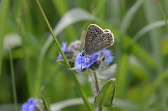 Common Blue (wightbern) Tags: macro nature closeup butterfly nikon wildlife lepidoptera isleofwight nationaltrust commonblue freshwaterbay d7000 nikonnaturephotography sigma105mmf28exdgoshsm