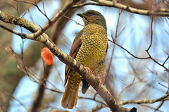 Satin Bowerbird Female (Australia)