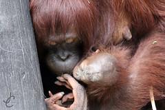 Lowry Park Zoo: Hadiah & Topi (Bornean Orangutan) (Jasmine'sCamera) Tags: park animal animals tampa zoo orangutan lowry lowryparkzoo bornean borneanorangutan