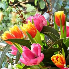 For you (Cajaflez) Tags: flower colors spring tulips printemps bloemen tulpen boeket kleuren voorjaar fruhling