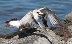 Fresh Fish! (jmaxtours) Tags: lunch gull mississauga freshfish nicecatch mississaugaontario roundgoby lakefrontpromenadepark lakefrontpromenadeparkmississauga