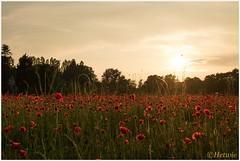 poppy field (HP011880) (Hetwie) Tags: flowers zonsondergang nederland eindhoven poppy bloemen cornflower noordbrabant korenbloem centaureacyanus poppyfield klaprozen klaprozenveld
