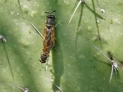 Hermetia chrysopila (carlos mancilla) Tags: insectos flies moscas olympussp570uz hermetiachrysopila