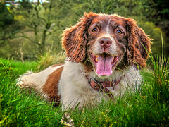 My Mollie Munch (Missy Jussy) Tags: trees portrait dog pets grass animals canon landscape lancashire mollie spaniel springerspaniel ogden dogwalk rochdale dogportrait englishspringer canonpowershotsx60