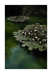 Surface Tension (icypics) Tags: reflection water pond derbyshire peakdistrict lilly chiarascuro waterlillies matlockbath