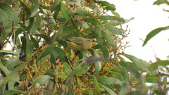 Acanthiza nana (Diana Padrn) Tags: bird birds ave aves naturaleza outdoors nature mangalore flora reserve victoria australia yellow thornbill acanthiza nana