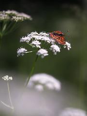 Scarce Fritillary (chaz jackson) Tags: butterfly insect hungary nymphalidae bukk scarcefritillary euphydryasmaturna