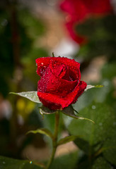 Walking around in the garden this time of the year is a sheer joy (Olof Virdhall) Tags: red summer flower rain rose canon garden bokeh outdoor eos5 mkiii