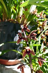 Cymbidium Cricket 'Pala Pala' primary hybrid orchid (nolehace) Tags: cymbidium cricket pala primary hybrid orchid 516 spring nolehace flower bloom plant fz1000 palapala sanfrancisco