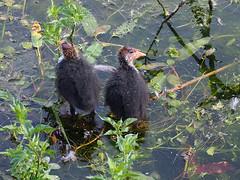waiting (mark.griffin52) Tags: surface water olympusem5 england hertfordshire wilstonereservoir wildlife nature bird chick coot