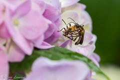 Soldier Beetles (norasphotos4u) Tags: pink macro colors insects flowersplants canon6d canonef100mmf28lisusmmacro noraleonard