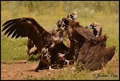 Buitres negros. Black vultures. (jleisfotos) Tags: naturaleza black nature birds wildlife negro aves cadiz animales vulture buitre leonado salvaje carroeros
