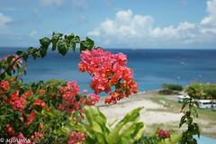 Caribbean blooming (sagur1) Tags: caribbean blooming caribbeanblooming