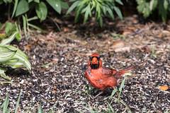 I'm looking at you! (Jersey Camera) Tags: cardinal northerncardinal malenortherncardinal malecardinal cardinaliscardinalis