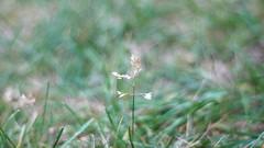 Crazy-Ass Grass Bokeh (mister_hashtag) Tags: white flower green nature field grass 50mm nikon bokeh small af f18 d80