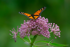 Monarch Butterfly - 2594 (RG Rutkay) Tags: lavender presquileprovincialpark butterfly flower green insect mauve monarchbutterfly nature orange plant weed wild