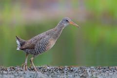 The Clattering Cackle (Khurram Khan...) Tags: clapperrail rail ralluscrepitans newjersey nikon nikkor naturephotography ilovenature ilovewildlife iamnikon wwwkhurramkhanphotocom khurramkhan birdphotography birds birding