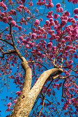 Inflorescence (Jos Eduardo Nucci) Tags: pink flowers blue sky tree nature colors riodejaneiro forest cores photography flora nikon flickr branches perspective explore getty botafogo rvore jos urca 28300mm d800 nucci wonderfulcity rio2016 instagram joseduardonucci