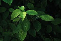 Green (Netsrak) Tags: light shadow green nature leaves licht leaf natur grn blatt bltter schatten