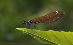 Beautiful Damoiselle - female (riggy-riggo) Tags: macro nature woodland insect wildlife damselfly fairlight tamron90mm diffusedflash beautifuldamoiselle canon5dmarkll deborahrigden riggyriggo debbierigden