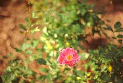 Estrada Bonita SC (B FRANCO) Tags: fujifilm superia 100 iso100 fuji expired film 135 nature f spotmatic pentax yashinonds 50mm f19 yashinon auto flower flor swirly bokeh