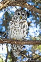 Barred Owl (countryphotoguy) Tags: art nature birds photography wildlife birding owl prints wildlifephotographer barredowl photograper wildlifeart lakewaco markchapman wildcreatures naturephotographer reynoldscreek wildlifeprints countryimages