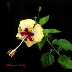 Hibisco/Hibiscus (Altagracia Aristy) Tags: amrica dominicanrepublic hibiscus hibisco tropic caribbean antilles laromana cayena caribe repblicadominicana carabe trpico antillas quisqueya fujifilmfinepixhs10 fujihs10 fujifinepixhs10