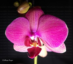 Purple Phalaenopsis Orchid (sh10453) Tags: flowers usa macro nature closeup purple orchids michigan