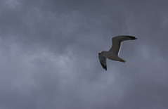 Adriatic flyer (Tomislav C.) Tags: sky cloud nature birds animal animals clouds flying wings natural seagull gulls flight croatia primorskogoranskaupanija urkovo pentaxk3